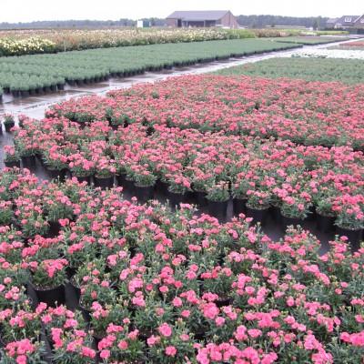 dísznövény kertészet